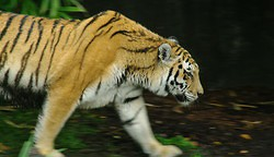 TigerSchrittBewegung (Photo)