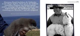 Maremma Abruzzen bewachen Pinguine