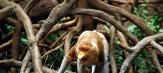 Im Dschungel von Borneo flirten die letzten Nasenaffen