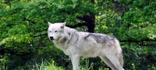 Wie der Wolf ins nördliche Amerika kam
