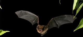 Nacht der Fledermaus: Fakten zum Fledertier - Natur - Wissen - WDR