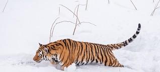 Der kurze Kampf der sibirischen Tiger. Eine Geschichte mit Fotos von Ingo Gerlach. 30. November 2016.