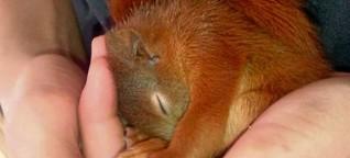 Video: Erste Hilfe für Eichhörnchen-Babys