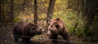 Braunbären in Rente: Ruhe, Fett und Medizin