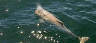 Überfischung und Beifang: Schweinswal in Not! | BR Mediathek VIDEO