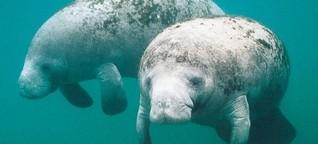 Artenschutz: Floridas Seekühen geht es super