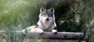 Wölfe und Religionen - Der beste Feind des Menschen