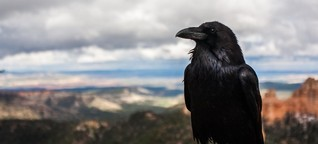 Faszination Krähe - Der Vogel mit der Intelligenz vom anderen Stern