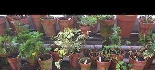 Pelargonien überwintern