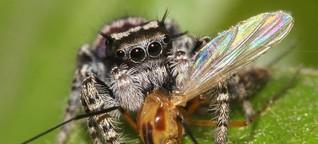Spinnen sind leidenschaftliche Fleischfresser