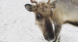Besuch einer Rentierfarm in Lappland