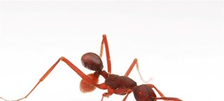 Käfer tarnt sich als Ameisen-Po