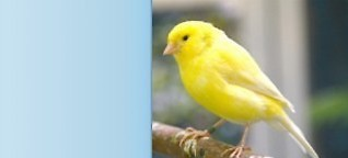 Kanarienvogel - kleiner Vogel, große Stimme