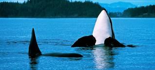 Den Orcas droht der schleichende Tod