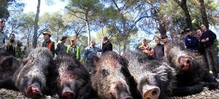 Afrikanische Schweinepest: Hunderttausende Wildschweine sollen sterben - wofür?