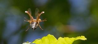 Maikäfer flog: Vom Verschwinden der Insekten