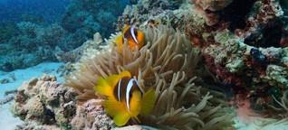 Klang des Korallenriffs - Weniger Sound - weniger Fische
