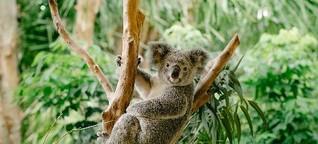 Koalas, Buckelwale und Schnabeltiere: Tierische Abenteuer in Queensland