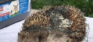 Tierquälerei in Willich: Angezündet - Schon wieder muss ein Igel leiden