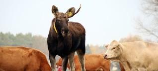 Bert - der Elch, der Kühe liebt