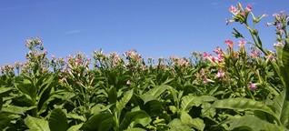 Verbesserte Photosynthese - Hohe Erträge bei Nutzpflanzen möglich
