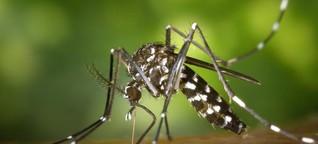 Tropenmücken in Deutschland: Hartnäckig, aggressiv, tagaktiv