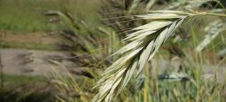 Open Source auf dem Acker: Saat als Gemeingut - mehr Unabhängigkeit für Bauern? | BR.de