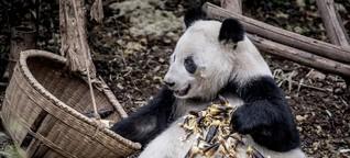 Die eigenartige Diät der Pandas