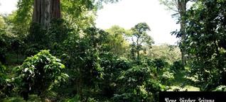 Nicaragua: Arabica-Kaffee aus dem Schwarzwald