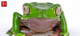 Alternativmedizin: Warum Froschgift als Wundermittel Karriere macht