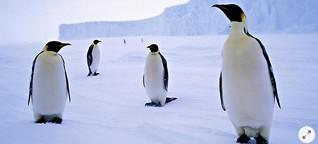 Seismografen der Meere: Pinguinwissen für Fortgeschrittene - WELT