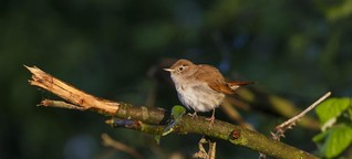 Living Planet: Nightingales in Berlin | DW |