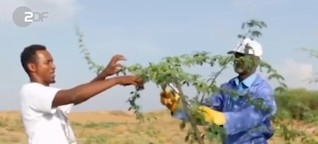 """Kampf gegen den Hunger - mit dem """"gefährlichsten Baum der Welt"""""""