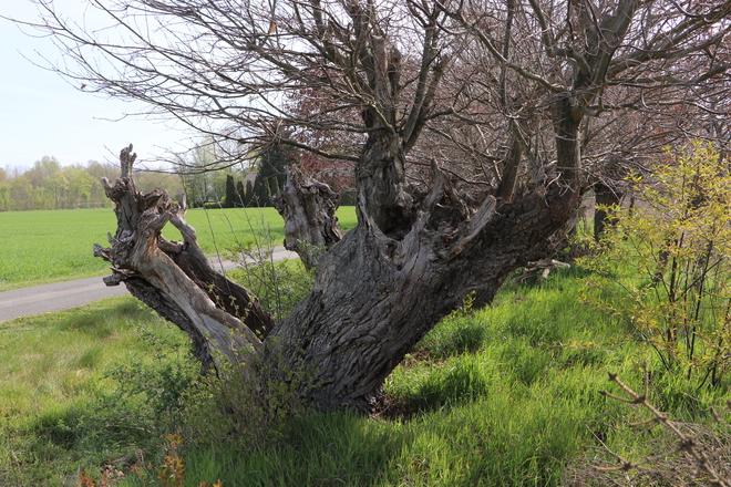 Naturdenkmal Kopfeichenwall