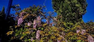 ✿ Blauregen - Frühling lässt sein blaues Band wieder flattern