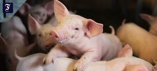 Landwirtschaft: Schweineleben