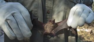 Fledertiere: Die Phantomjagd der Virensucher