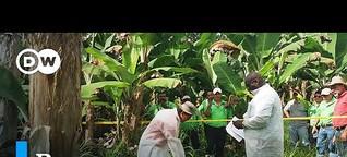 Alerta en Colombia ante un hongo del banano