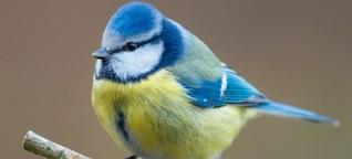 Naturschutz - Das rätselhafte Sterben der Blaumeisen