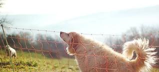 Herdenschutzhunde reißen Wildschwein: Schäfer äußert sich zu Angriff
