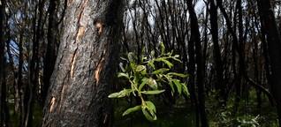 Australiens Schwarzer Sommer bedroht 800 Tier- und Pflanzenarten