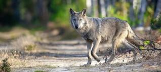 Wenn der Wolf den Biber frisst