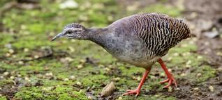 """Ornithologe enttarnt Fake-Guerilla-Video: """"Diese Art gibt es nicht in Kolumbien. Unmöglich"""""""