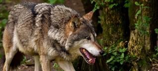 Wolf. Zaun. Mensch