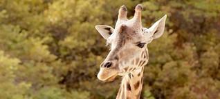 Giraffes under fire: The Cowboy of Samburu
