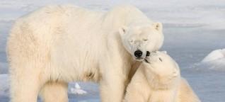 """Welteisbärentag: Churchill ist die """"Hauptstadt der Eisbären"""""""