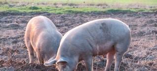 Afrikanische Schweinepest gefährdet Bio-Freilandhaltung