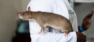 Medizin: Ratten im Einsatz gegen Tuberkulose