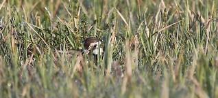 Gefährdete Artenvielfalt (Teil 1): Wie man Kiebitze im Ackerland schützen kann