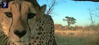 Gepardenforschung in Namibia: Kontaktbörse am Katzenbaum